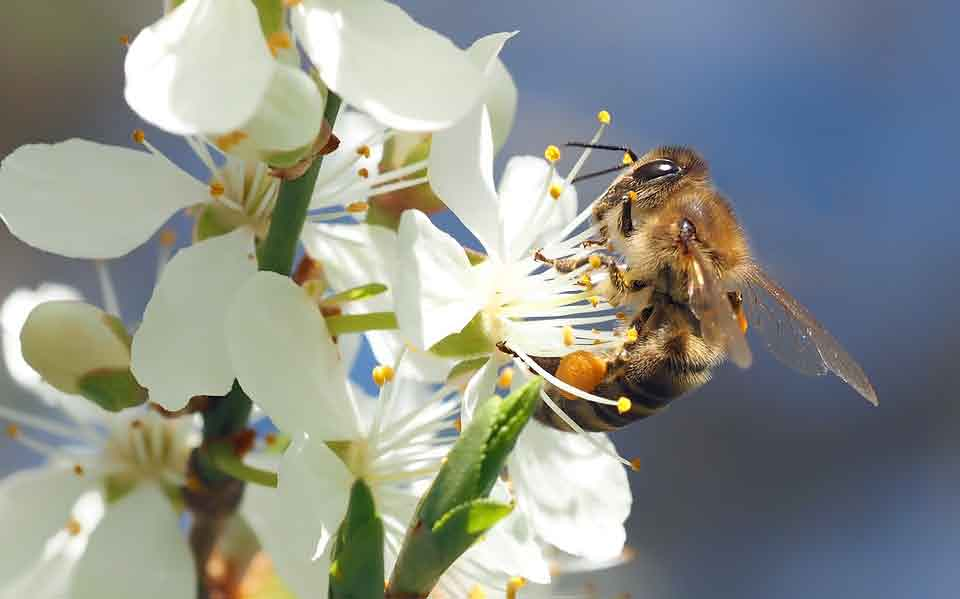 bee-on-cherry-blossoms-1403010_960_720